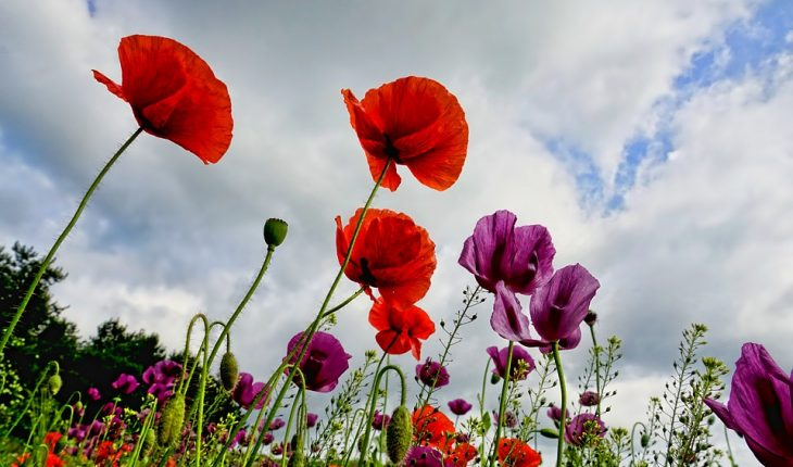 How to grow poppies grow guides a poppy is a term used to refer to any colorful flower that belong to several genera including meconopsis papaver and romneya the usual colors of poppies mightylinksfo