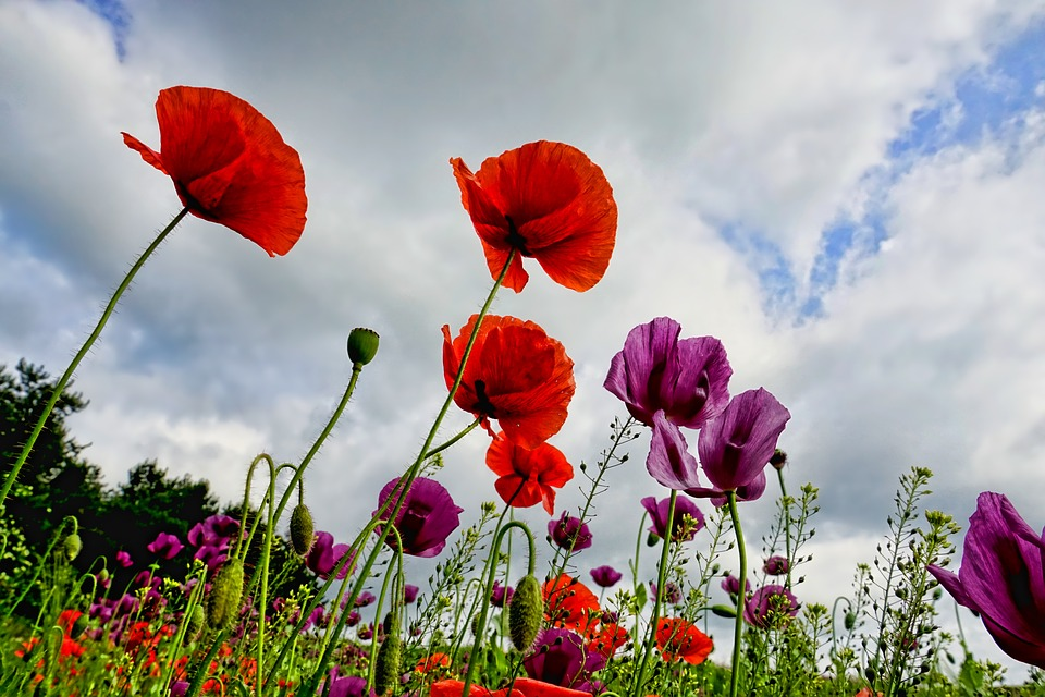 how to grow red poppies