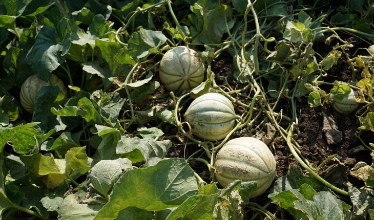 Cantaloupe Growing : Growing cantaloupe isn't the easiest endeavor.