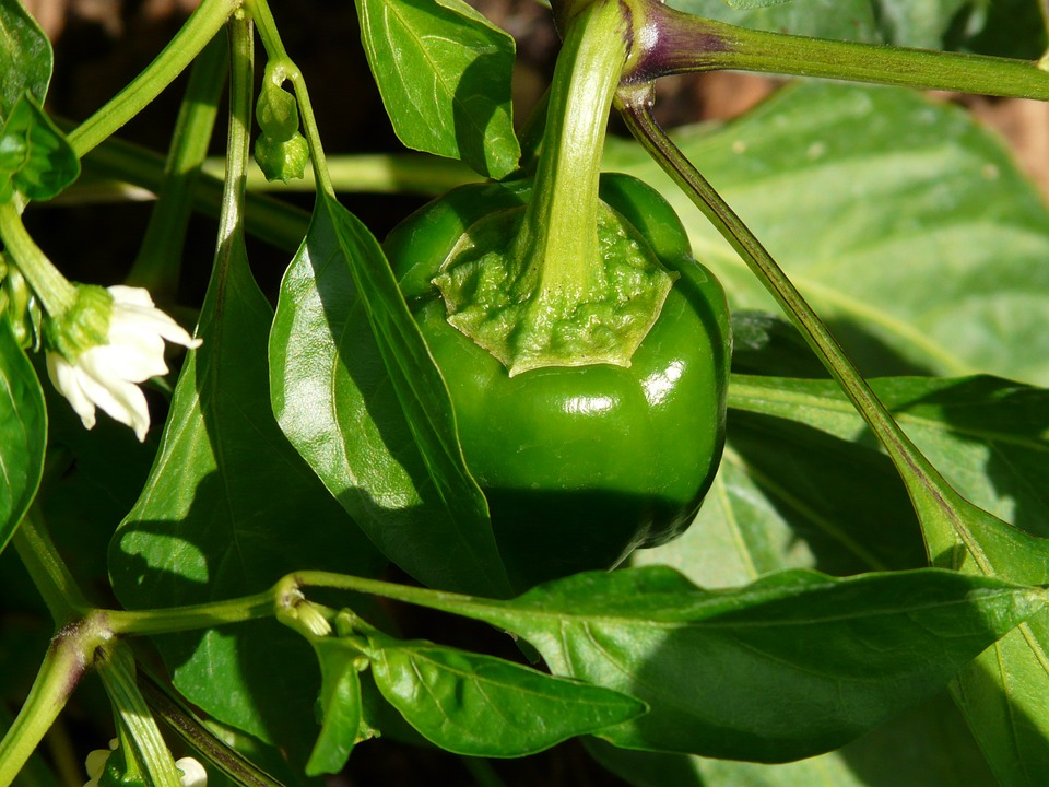 how to grow red bell peppers